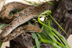 Reticulated python, Boa constrictor snake on tree branch Stock Images