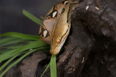Reticulated python, Boa constrictor snake on tree branch Royalty Free Stock Images