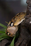 Reticulated python, Boa constrictor snake on tree branch Stock Image