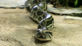 Reticulated python close up, zoom stock footage