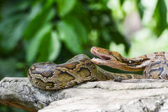 Reticulated python (Python reticulatus) Stock Images