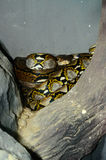 Reticulated Python (Python reticulatus) Stock Image
