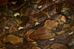 Reticulated python, Python reticulatus, Southeast Asia. World`s longest snakes, art view on nature. Python in nature habitat, Ind Stock Images