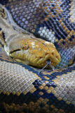 Reticulated python Royalty Free Stock Photography