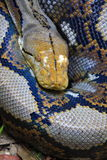 Reticulated python Stock Image