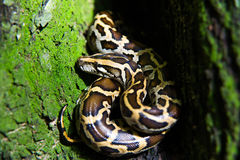 Reticulated python Stock Images