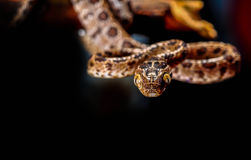 Reticulated Python, Snake. Royalty Free Stock Photos
