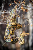Reticulated pytonorm i träd Royaltyfri Fotografi