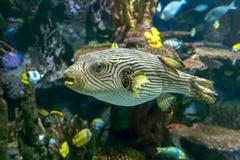 Reticulated reticularis Arothron pufferfish - θάλασσα και ωκεάνια τροπικά ψάρια Στοκ Εικόνες