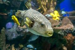 Reticulated reticularis Arothron pufferfish - θάλασσα και ωκεάνια τροπικά ψάρια Στοκ Φωτογραφίες