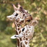 Reticulated reticulata för giraffGiraffacamelopardalis arkivfoton