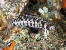 Reticulated sandperch Royalty Free Stock Image