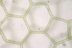 Reticulatum de água doce de Hydrodictyon Estrutura sextavada aquaculture biologia Fotos de Stock Royalty Free