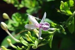 Reticulatum 5 de Pseuderanthemum photographie stock