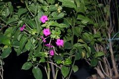 Reticulatum 3 di Pseuderanthemum Immagine Stock Libera da Diritti