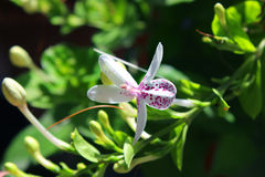 Reticulatum 5 di Pseuderanthemum Fotografia Stock