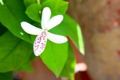 Reticulatum 6 di Pseuderanthemum Immagine Stock
