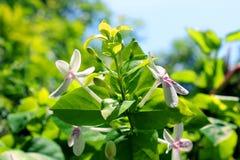 Reticulatum entrambi di Pseuderanthemum Fotografie Stock Libere da Diritti