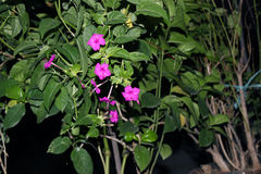 Reticulatum 3 Pseuderanthemum στοκ εικόνα με δικαίωμα ελεύθερης χρήσης