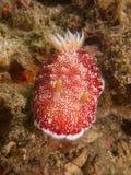 Reticulatus de Goniobranchus à un de mes macro sites de favori dans Sulawesi du nord, jetée de paradis, près de Pulisan, l'Indoné Photo stock