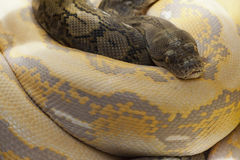 Reticulatus de Python Foto de archivo