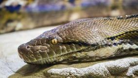 Reticulatus de python de python réticulé image libre de droits