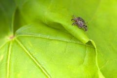 Reticulatus masculino de Tick Meadow Dermacentor Fotografia de Stock