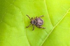 Reticulatus masculino de Tick Meadow Dermacentor Imagem de Stock