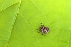 Reticulatus masculino de Tick Meadow Dermacentor Imagem de Stock Royalty Free