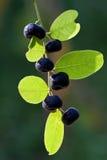 Reticulatus Poir Phyllanthus Στοκ Εικόνες