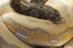 Reticulatus Python Στοκ Εικόνες