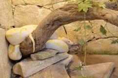 Reticulatus reticulado del pitón del pythonor del albino imagenes de archivo