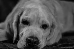Retiever de chien Photos stock
