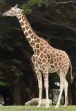 Retikulierte Giraffe Stockbilder