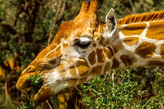 Retikulierte Giraffe Stockfotos