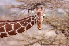 Retikulierte Giraffe das Männerbildnis, gegen Hintergrund der Savanne Abschluss oben Lizenzfreie Stockfotos