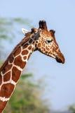 Retikulierte Giraffe das Männerbildnis, gegen Hintergrund der Savanne Abschluss oben Stockfoto