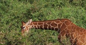 Retikulierte Giraffe, Giraffa camelopardalis reticulata, Erwachsener, der Blätter isst, Samburu-Park in Kenia, stock video footage