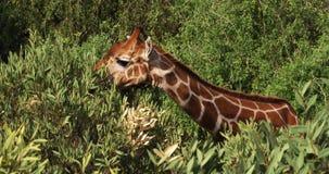 Retikulierte Giraffe, Giraffa camelopardalis reticulata, Erwachsener, der Blätter isst, Samburu-Park in Kenia, stock footage