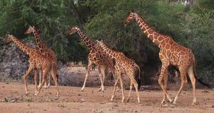 Retikulierte Giraffe, Giraffa camelopardalis reticulata, Gruppe an Samburu-Park in Kenia, stock video footage