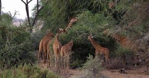 Retikulierte Giraffe, Giraffa camelopardalis reticulata, Gruppe an Samburu-Park in Kenia, stock video