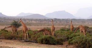 Retikulierte Giraffe, Giraffa camelopardalis reticulata, Gruppe an Samburu-Park in Kenia, stock footage