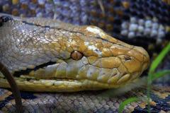 Retikulierte Pythonschlange stockfotos