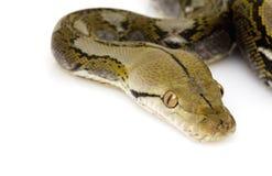 Retikulierte Pythonschlange stockbilder