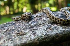 Retikulierte Pythonschlange stockbild