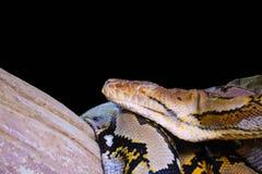 Retikulierte Pythonschlange lizenzfreies stockbild