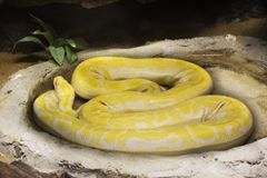 Retikulierte Pythonschlange entspannen sich im Käfig am allgemeinen Park in Bangkok, Thailand stockfotos