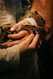 Retikulierte Pythonschlange gehalten in den Händen stockbild