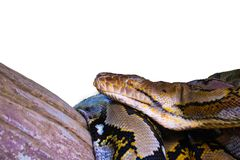 Retikulierte Pythonschlange lokalisiert stockfotografie