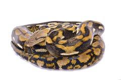 Retikulierte Pythonschlange, Malayopython-reticulatus lizenzfreie stockbilder
